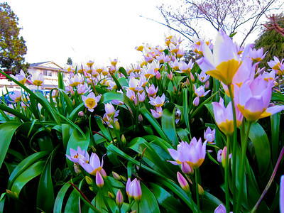 Mar 17: Tulips in front of my sister's house. I had in mind taking some cool St. Patty's Day photos of the dinner and friends, but this batch of flowers really called to me. I knelt near them but held the camera at ground level and took a dozen shots at different angles. The original was quite washed out--the very late afternoon sky had a lot of glare, and the very-pale-pink tulips were in shade. I tweaked around with saturation and contrast and liked the surreal effect I ended up with.