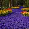 Garden scene with Muscari, Daffodils, and Tulips at Keukenhof Gardens in South Holland in The Netherlands.