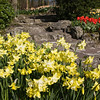 Garden scene with yellow Daffodils, Narcissus 'PIPIT', in Keukenhof Gardens in South Holland, The Netherlands.