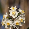 Daffodil, Narcissus 'ERLICHEER', at Mercer Arboretum and Botanical Gardens in Spring, Texas.