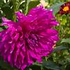Dahlia in Butchart Gardens in Victoria, British Columbia.