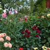 Garden scene with Dahlias in Butchart Gardens in Victoria, British Columbia, Canada.