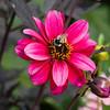 Bee on Dahlia flower in Butchart Gardens