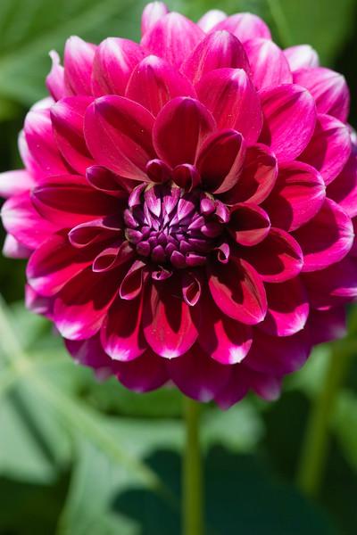 Dahlia photo taken in Butchart Gardens, Victoria, British Columbia