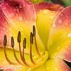 Daylily, Hemerocallis 'TATTERSALL', at Mercer Arboretum and Botanical Gardens in Spring, Texas.