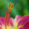Daylily, Hemerocallis 'WHOOPEREE', at Mercer Arboretum and Botanical Gardens in Spring, TX.