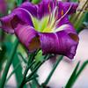 Daylily, Hemerocallis 'Ken Henson', at Mercer Arboretum and Botanical Gardens in Spring, Texas.