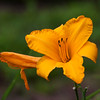 Daylily, Hemerocallis 'BY MYSELF', at Mercer Arboretum and Botanical Gardens in Spring, TX.