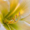 Daylily, Hemerocallis 'Unforgettable', at Mercer Arboretum and Botanical Gardens in Spring, Texas.