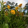 Daylily, Hemerocallis 'BELLE AMBER', at Mercer Arboretum and Botanical Gardens in Spring, TX.