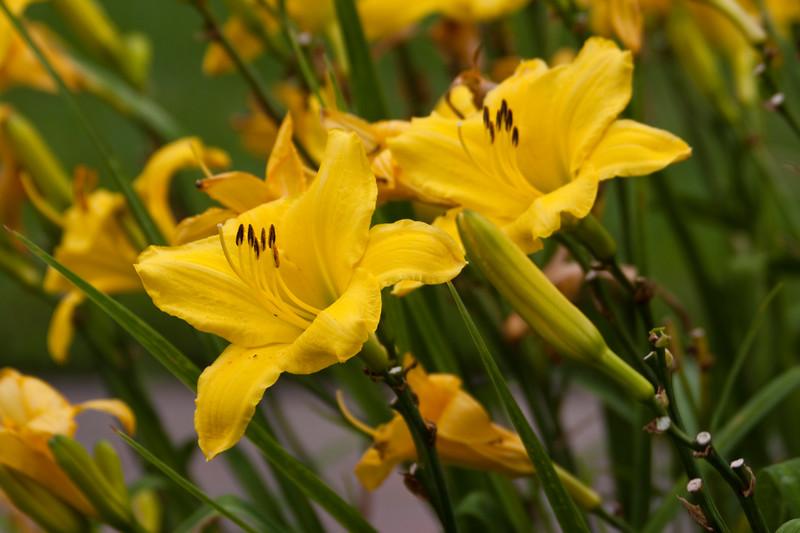 Daylily, Hemerocallis 'CUPID'S DART', at Mercer Arboretum and Botanical Gardens in Spring, TX.