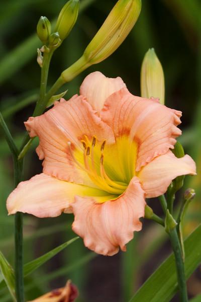 Daylily, Hemerocallis 'TREE OF LIFE', at Mercer Arboretum and Botanical Gardens in Spring, TX.