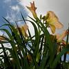 Daylily, Hemerocallis 'I FANCY', at Mercer Arboretum and Botanical Gardens in Spring, TX.