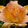 Daylily, Hemerocallis 'JENNIFER'S FAULT', at Mercer Arboretum and Botanical Gardens in Spring, TX.