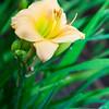 Daylily, Hemerocallis 'SCRUPLES', at Mercer Arboretum and Botanical Gardens in Spring, TX.