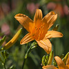 Daylily at Mercer Arboretum and Botanical Gardens in Spring, Texas.