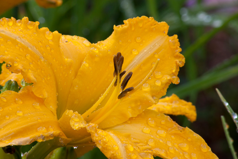 Daylily, Hemerocallis 'OLYMPIC SHOWCASE', at Mercer Arboretum and Botanical Gardens in Spring, Texas.