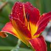 Daylily, Hemerocallis 'SCARLOCK', at Mercer Arboretum and Botanical Gardens in Spring, Texas.