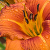 Daylily, Hemerocallis 'TOOTSIE', at Mercer Arboretum and Botantical Gardens in Spring, Texas.