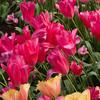 Triumph Tulip, Tulipa 'Moulin Rouge', with Fringed Tulip 'LAMBADA', at Kuekenhof Gardens.