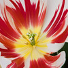 Triumph Tulip, Tulipa triumph 'HAPPY GENERATION', at the Keukenhof Gardens in South Holland, The Netherlands.