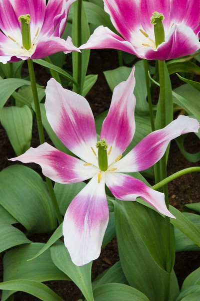 Lily Flowering Tulip, Tulipa 'CLAUDIA',  at Keukenhof Gardens in South Holland in The Netherlands.
