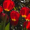 Tulip at Butchart Gardens in Victoria, British Columbia, Canada.