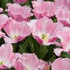 Fringed Tulip, Tulipa 'FANCY FRILLS', at the Keukenhof Gardens in South Holland, The Netherlands.