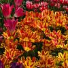 Bunch Flowering Tulip, Tulipa 'COLOUR SPECTACLE', and Peony Flowering Tulip 'CURLY SUE' at Keukenhof Gardens.