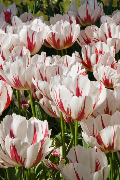 Triumph Tulip, Tulipa 'HAPPY GENERATION',  at Keukenhof Gardens in South Holland in The Netherlands.