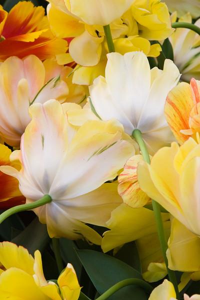 Darwin Hybrid Tulip, Tulipa 'AKEBONO',  at Keukenhof Gardens in South Holland in The Netherlands.