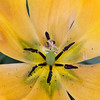 Triumph Tulip, Tulipa 'ASAHI',  at Keukenhof Gardens in South Holland in The Netherlands.