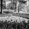 Tulips in Hodges Gardens at Many, Louisiana