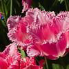 Fringed Tulip at Butchart Gardens in Victoria, British Columbia, Canada.