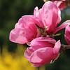 Tulip magnolia, in Oxford
