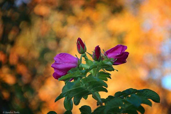 10-26-14: Bank Street roses