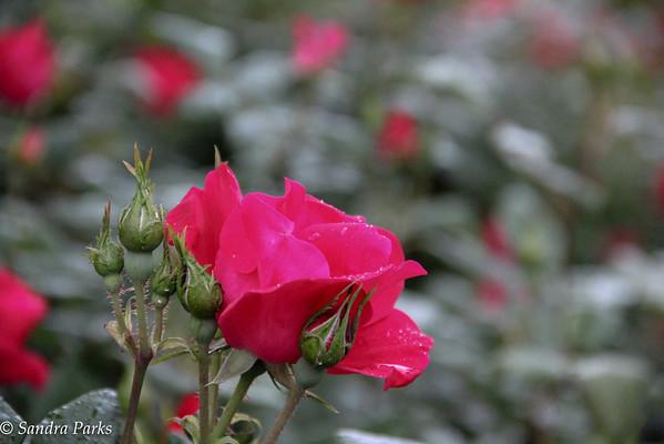 5-21-15: Municipal roses, Edgeview Park