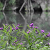 8-23-15: flowers by the river, in Wildwood