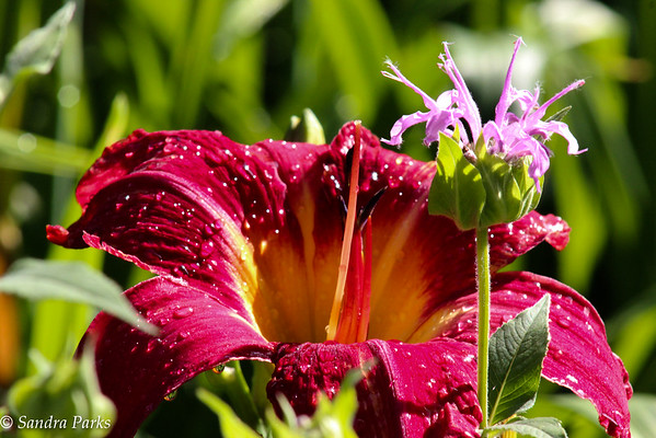6-22-15: Bee Balm and a day lily