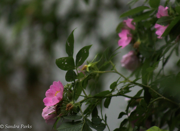 6-27-15: Wild rose, or maybe Mallow by the river