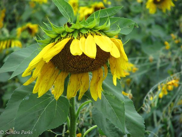 10-4-15: Dry River sunflower