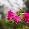 10-3-15: Bank Street roses