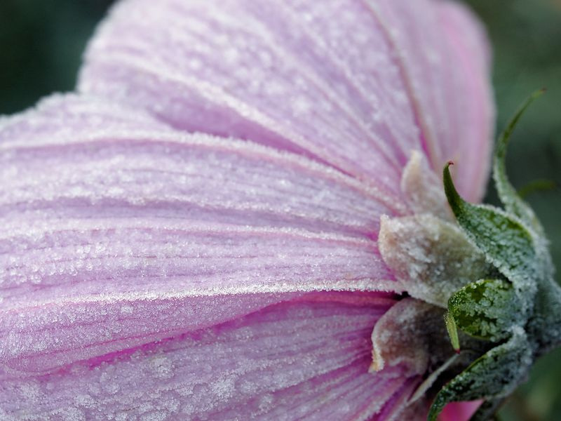 Blossoms of a Cosmos (Cosmos bipinnatus) flower covered with the early morning frost of fall.
