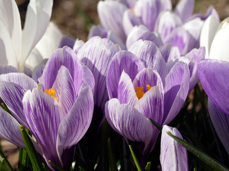 Crocus flowers (crocus biflorus) are the first to bloom in the spring. Here is a patch of purple, white, and verigated.