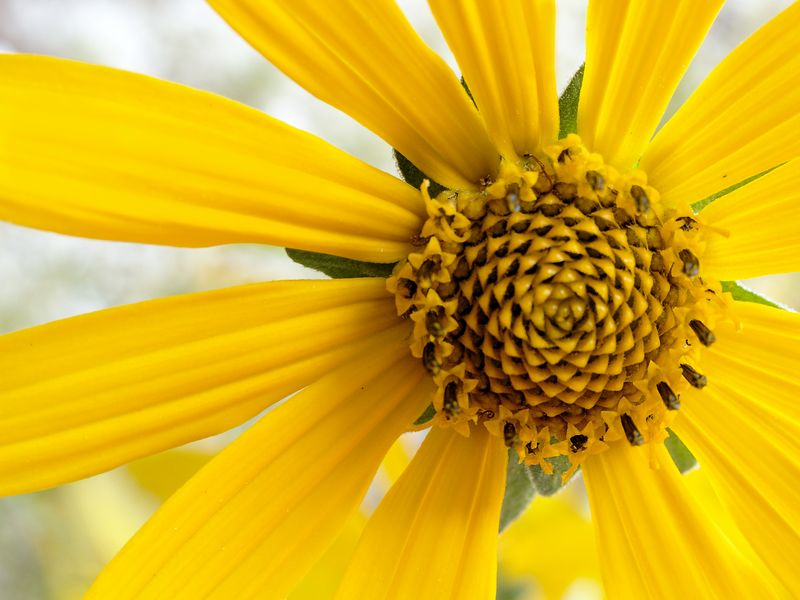 Detail view of a common Woodland Sunflower (Helianthus strumosus).