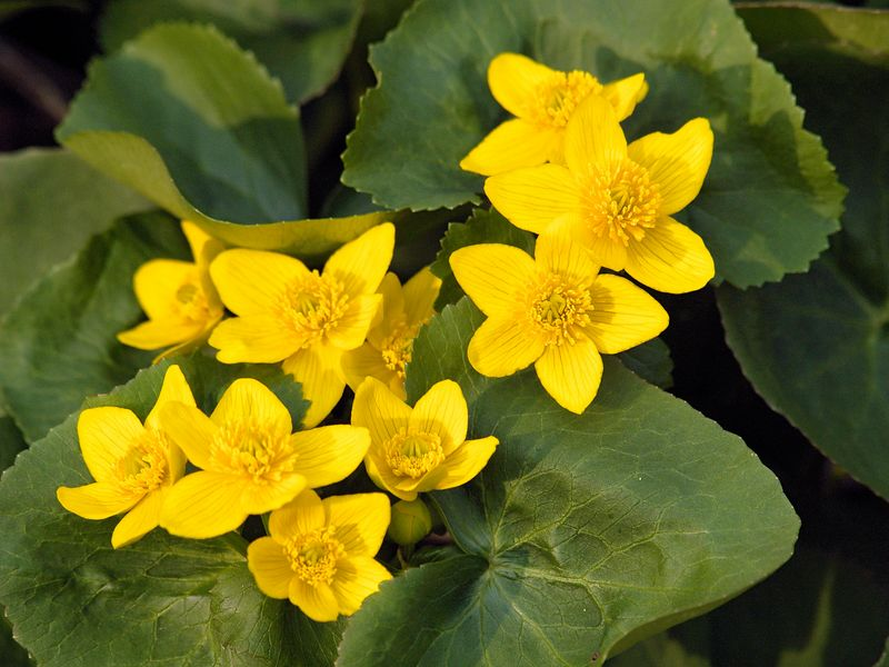 A small patch of Marsh Marigold (Caltha palustris) show off in the setting sun after a spring rain.