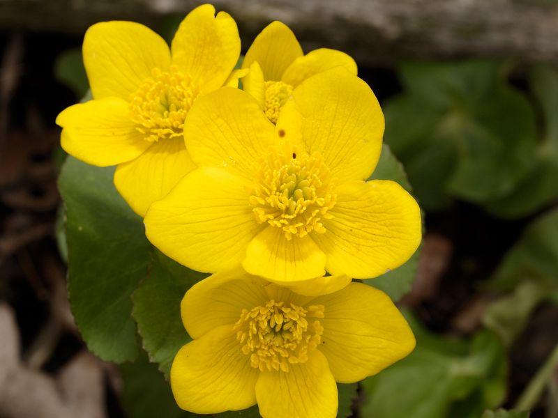 Marsh Marigold, also known as Cowslip (Caltha palustris). They resemble large buttercups instead of Marigolds. This plant has medicinal properties. These flowers were photographed in a swampy area of Eastern Michigan.