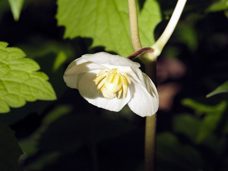 Mayapple or Mandrake (Podophyllum peltatum).  A wildflower found in moist woodlands, named for the apple-like blossom that appears in May.  The ripe, golden-yellow fruits can be used in jellies.