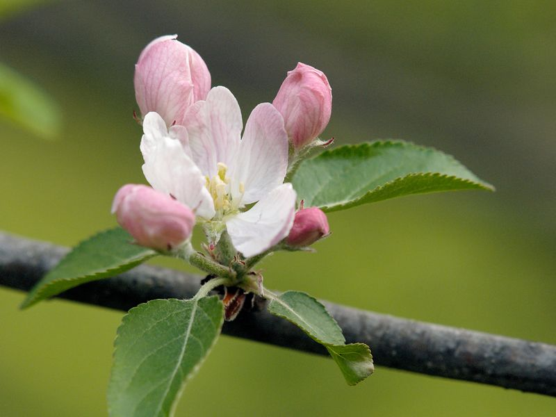 Closeup of pink and white blossom on an apple tree during mid-spring is Eastern Michigan.