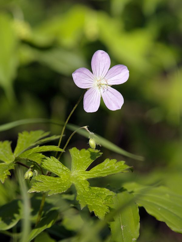 Wild Geranium (Geranium maculatum) have loose clusters of 2 to 5 flowers at the end of branches above a pair of deeply five-lobed leaves. They are found in the woods, thickets and meadows.